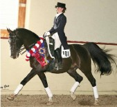 Sport-Horse Movement: The purebred Arabian WH Dallas+//, ridden by Kim Lacy, has wowed dressage judges with his excellent movement.