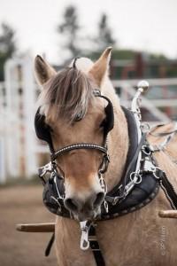 29th International Fjord Horse Show @ Bonner County Fairgrounds | Sandpoint | Idaho | United States