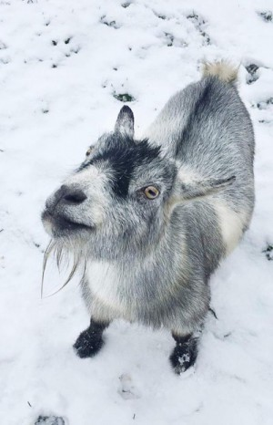 Winter Open Barn @ New Moon Farm Goat Rescue & Sanctuary | Arlington | Washington | United States