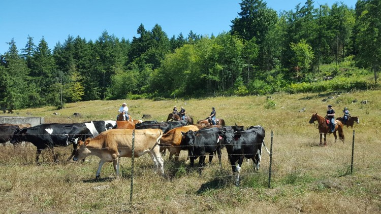 Cows 101 @ Johnsons' South Sound Equestrian Center
